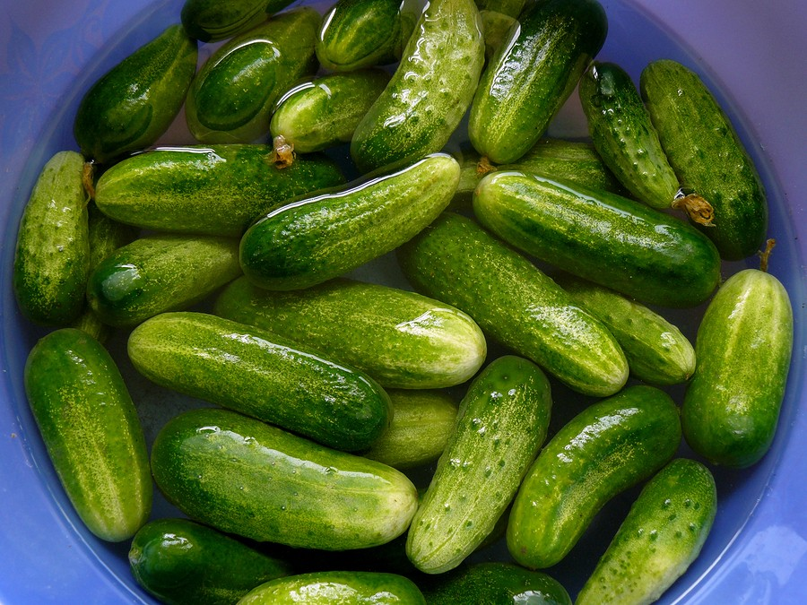 Cool as a Cucumber: Freezer Pickles Recipe  {storing cucumbers | growing cucumbers | refrigerator pickles}